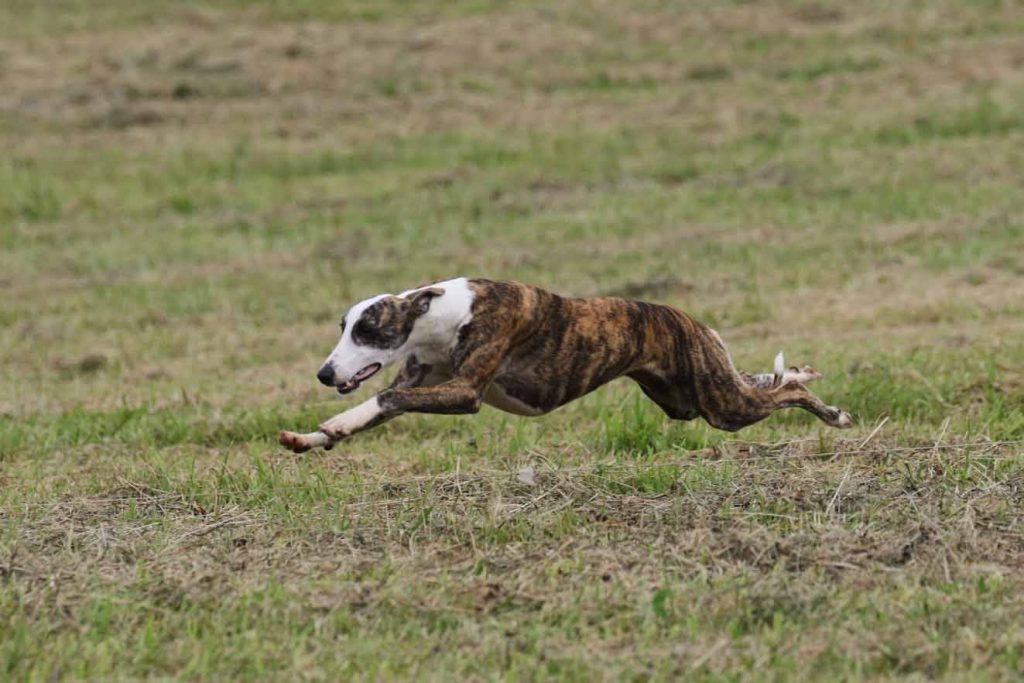 Kinky doing lure coursing practic