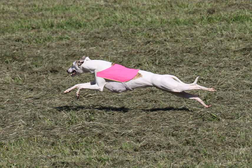 Minnie lure coursing